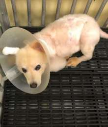 Dog with melioidosis